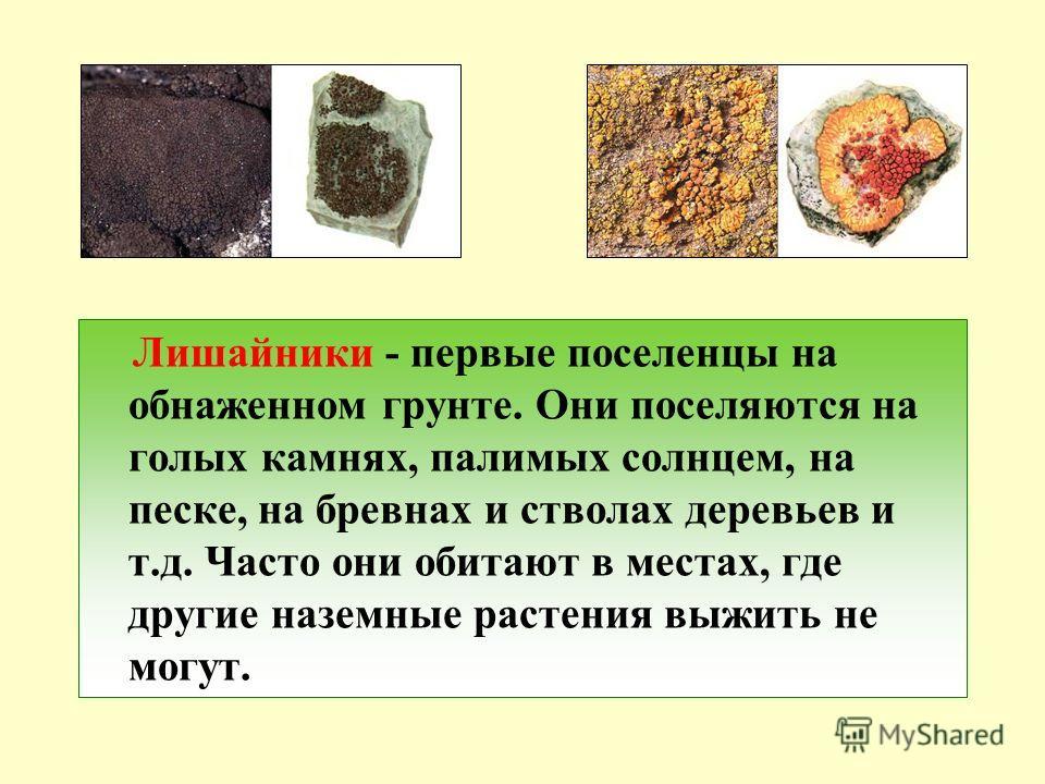 Лишайники - первые поселенцы на обнаженном грунте. Они поселяются на голых камнях, палимых солнцем, на песке, на бревнах и стволах деревьев и т.д. Часто они обитают в местах, где другие наземные растения выжить не могут.