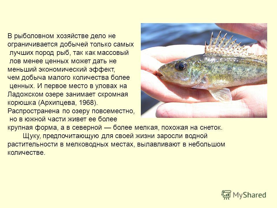В рыболовном хозяйстве дело не ограничивается добычей только самых лучших пород рыб, так как массовый лов менее ценных может дать не меньший экономический эффект, чем добыча малого количества более ценных. И первое место в уловах на Ладожском озере з
