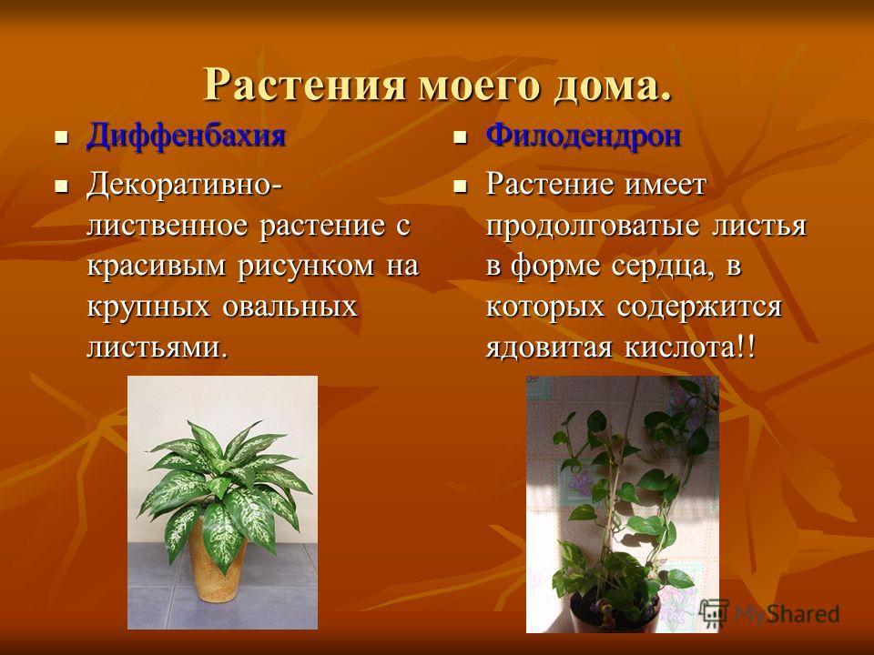 Растения моего дома. Диффенбахия Декоративно- лиственное растение с красивым рисунком на крупных овальных листьями. Филодендрон Растение имеет продолговатые листья в форме сердца, в которых содержится ядовитая кислота!!