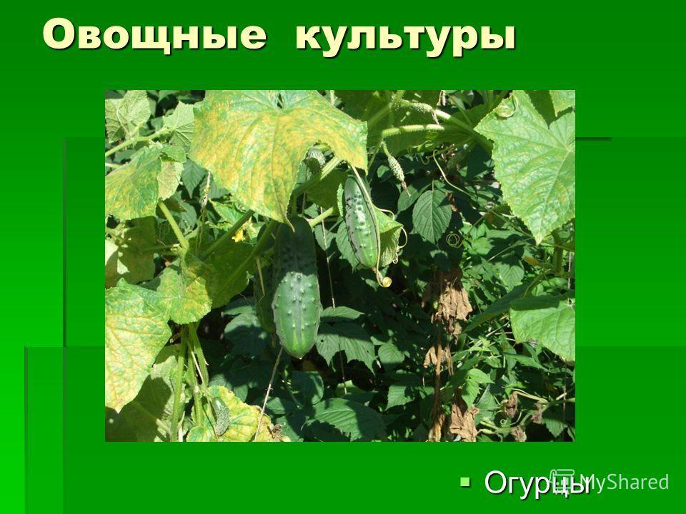 Овощные культуры Огурцы Огурцы