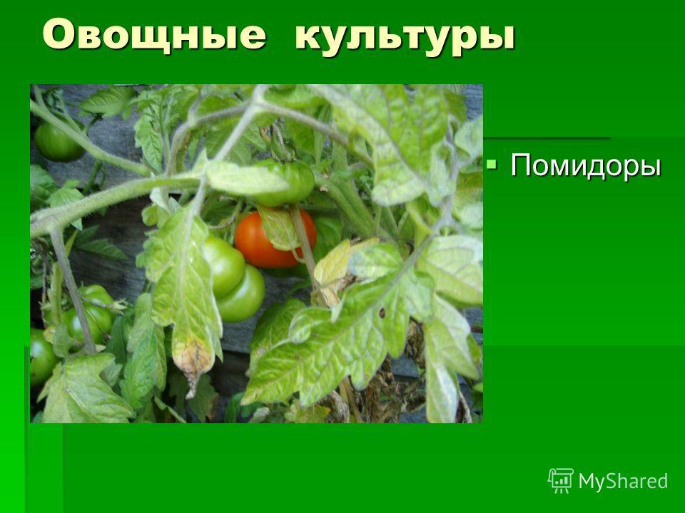Овощные культуры Помидоры Помидоры