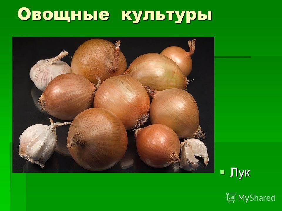 Овощные культуры Лук Лук