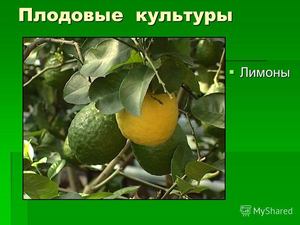 Плодовые культуры Лимоны Лимоны