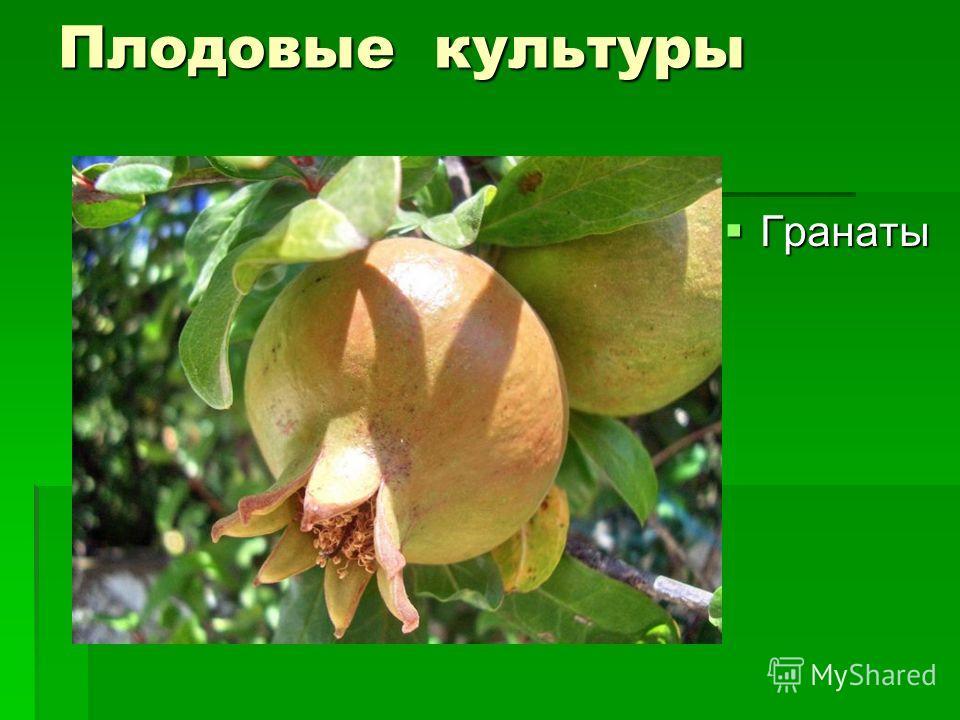 Плодовые культуры Гранаты Гранаты