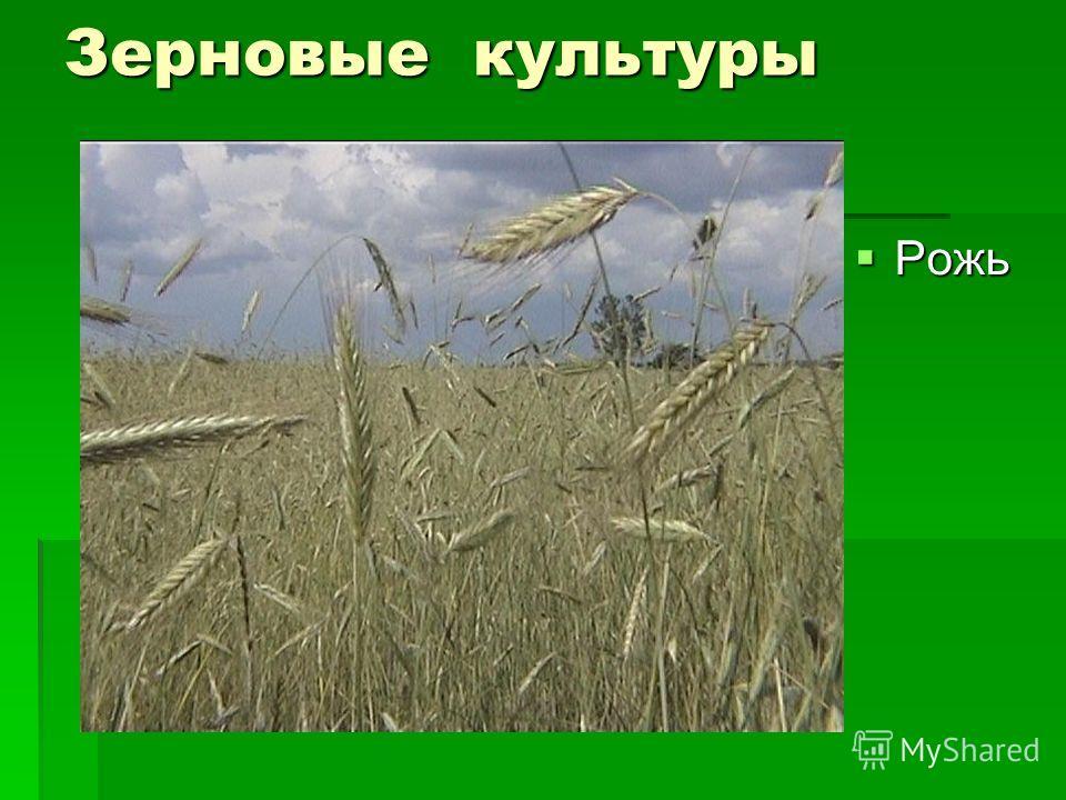 Зерновые культуры Рожь Рожь