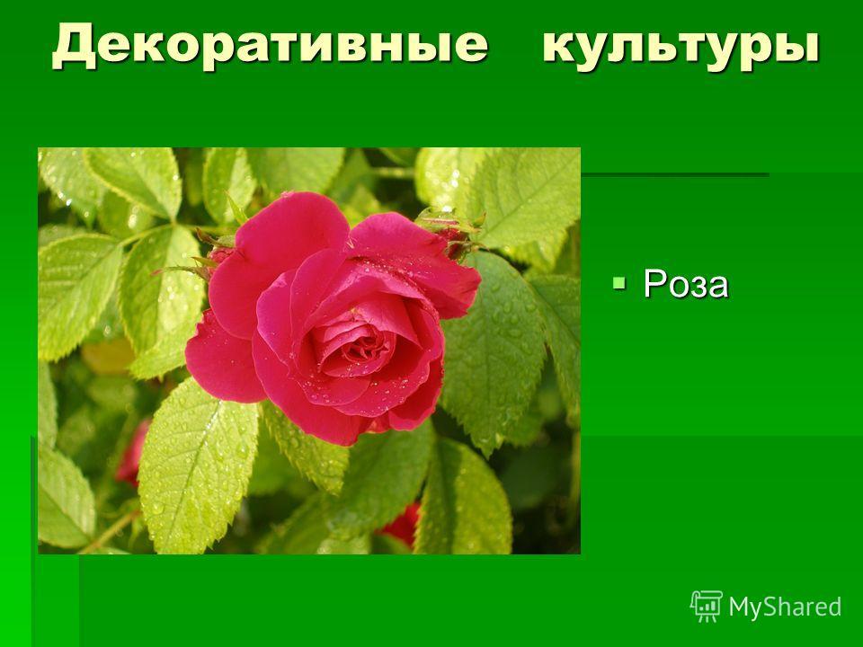 Декоративные культуры Роза Роза