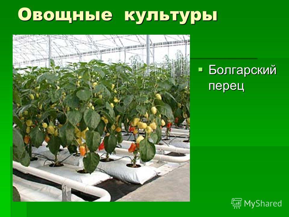 Овощные культуры Болгарский перец Болгарский перец