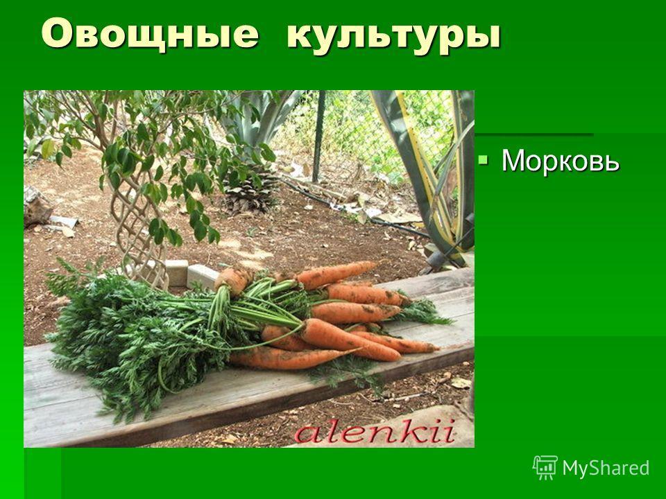 Овощные культуры Морковь Морковь