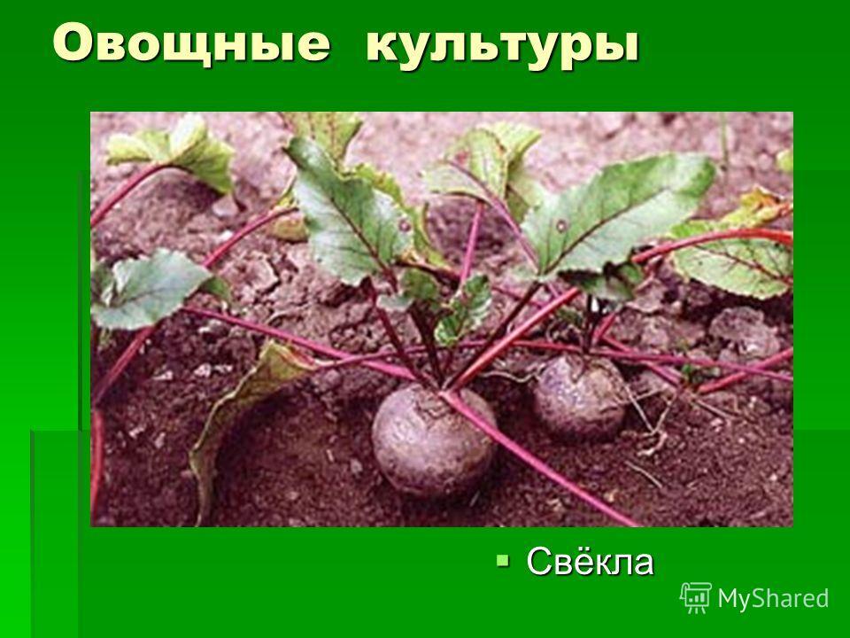 Овощные культуры Свёкла Свёкла