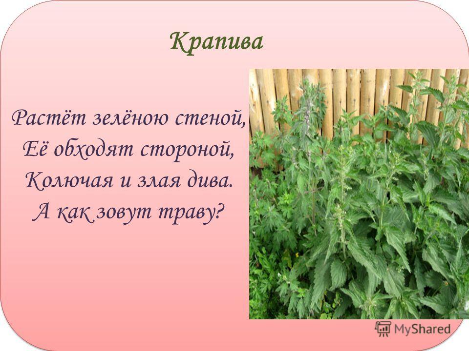 Растёт зелёною стеной, Её обходят стороной, Колючая и злая дива. А как зовут траву? Крапива