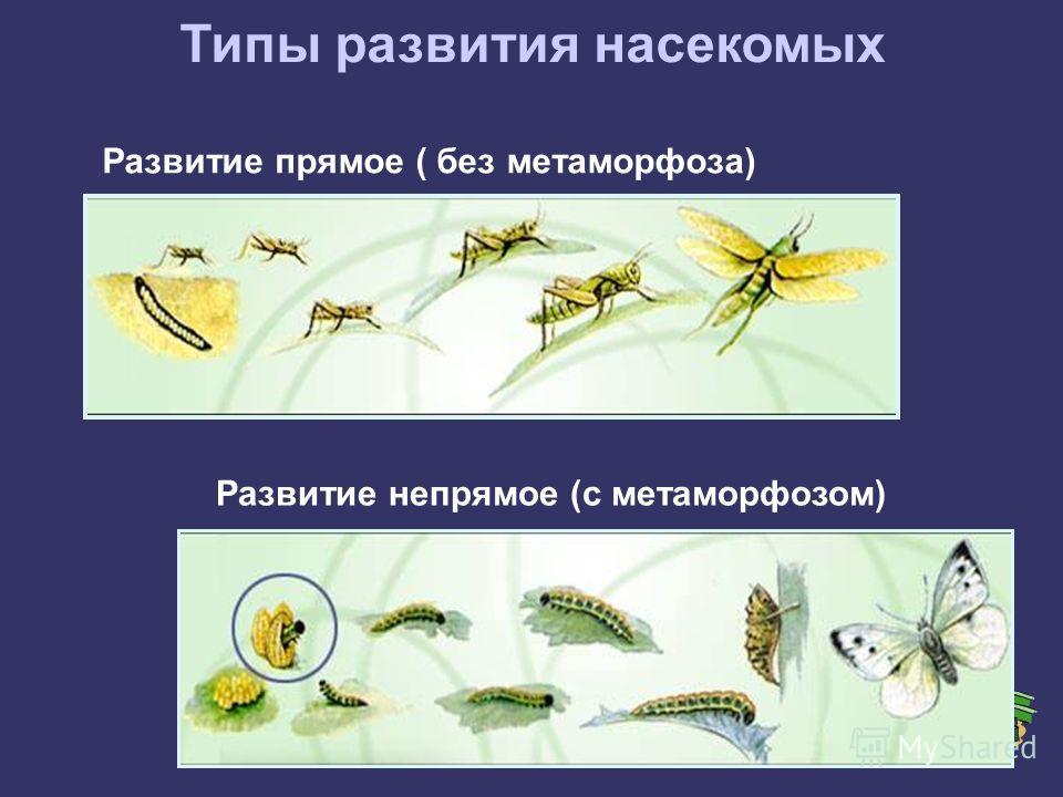 Типы развития насекомых Развитие прямое ( без метаморфоза) Развитие непрямое (с метаморфозом)