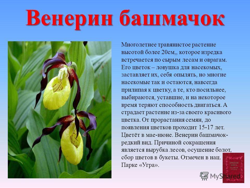 Венерин башмачок Многолетнее травянистое растение высотой более 20см,, которое изредка встречается по сырым лесам и оврагам. Его цветок – ловушка для насекомых, заставляет их, себя опылять, но многие насекомые так и остаются, навсегда прилипая к цвет
