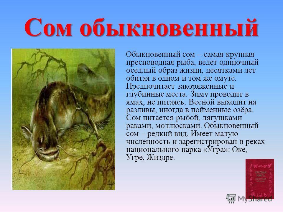 Сом обыкновенный Обыкновенный сом – самая крупная пресноводная рыба, ведёт одиночный осёдлый образ жизни, десятками лет обитая в одном и том же омуте. Предпочитает закоряженные и глубинные места. Зиму проводит в ямах, не питаясь. Весной выходит на ра
