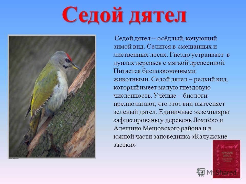 Седой дятел Седой дятел – осёдлый, кочующий зимой вид. Селится в смешанных и лиственных лесах. Гнездо устраивает в дуплах деревьев с мягкой древесиной. Питается беспозвоночными животными. Седой дятел – редкий вид, который имеет малую гнездовую числен