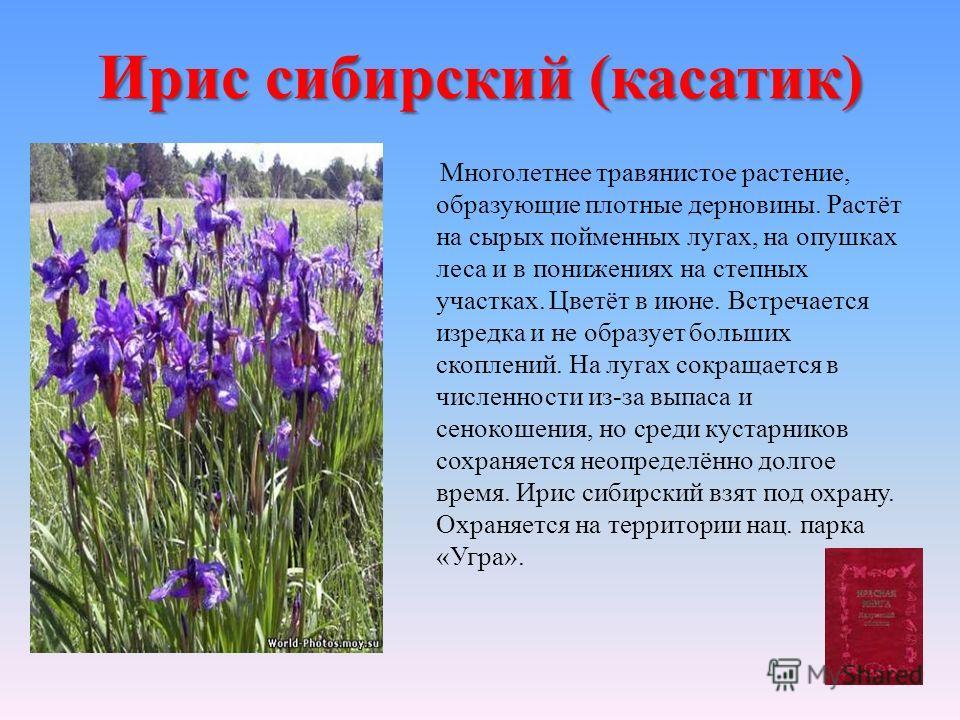 Ирис сибирский (касатик) Многолетнее травянистое растение, образующие плотные дерновины. Растёт на сырых пойменных лугах, на опушках леса и в понижениях на степных участках. Цветёт в июне. Встречается изредка и не образует больших скоплений. На лугах