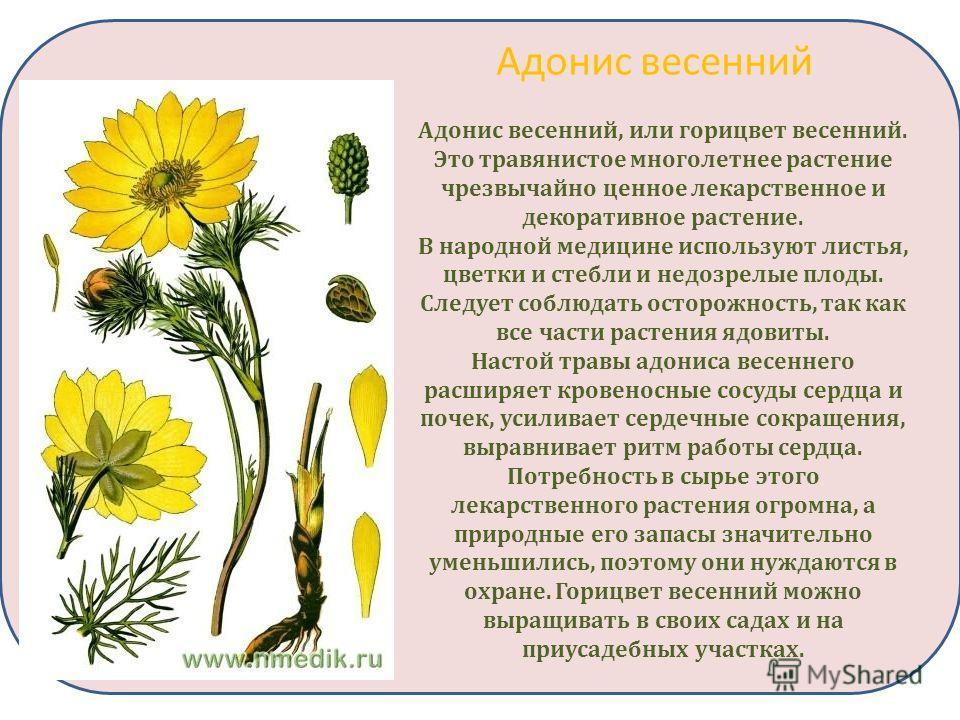 Адонис весенний Адонис весенний, или горицвет весенний. Это травянистое многолетнее растение чрезвычайно ценное лекарственное и декоративное растение. В народной медицине используют листья, цветки и стебли и недозрелые плоды. Следует соблюдать осторо