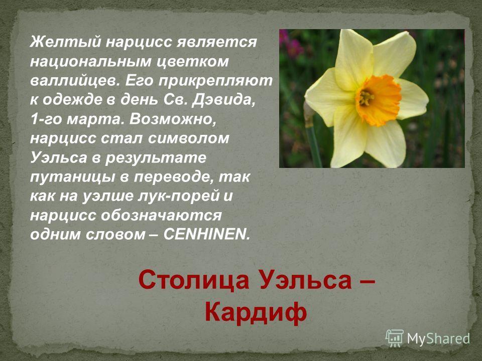 Желтый нарцисс является национальным цветком валлийцев. Его прикрепляют к одежде в день Св. Дэвида, 1-го марта. Возможно, нарцисс стал символом Уэльса в результате путаницы в переводе, так как на уэлше лук-порей и нарцисс обозначаются одним словом –