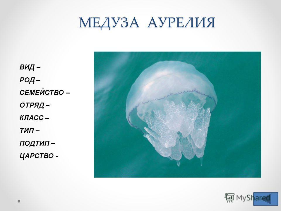 МЕДУЗА АУРЕЛИЯ ВИД – РОД – СЕМЕЙСТВО – ОТРЯД – КЛАСС – ТИП – ПОДТИП – ЦАРСТВО -