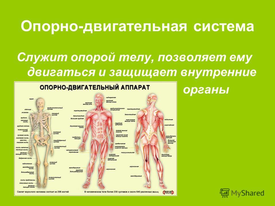 Опорно-двигательная система Служит опорой телу, позволяет ему двигаться и защищает внутренние органы