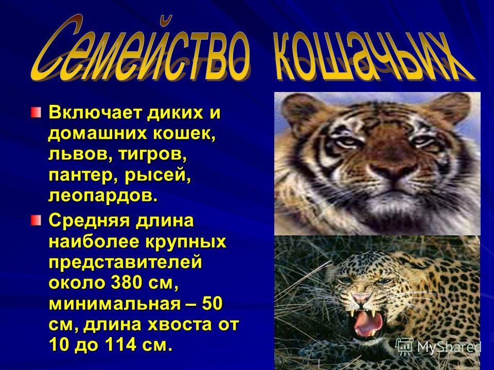 Включает диких и домашних кошек, львов, тигров, пантер, рысей, леопардов. Средняя длина наиболее крупных представителей около 380 см, минимальная – 50 см, длина хвоста от 10 до 114 см.