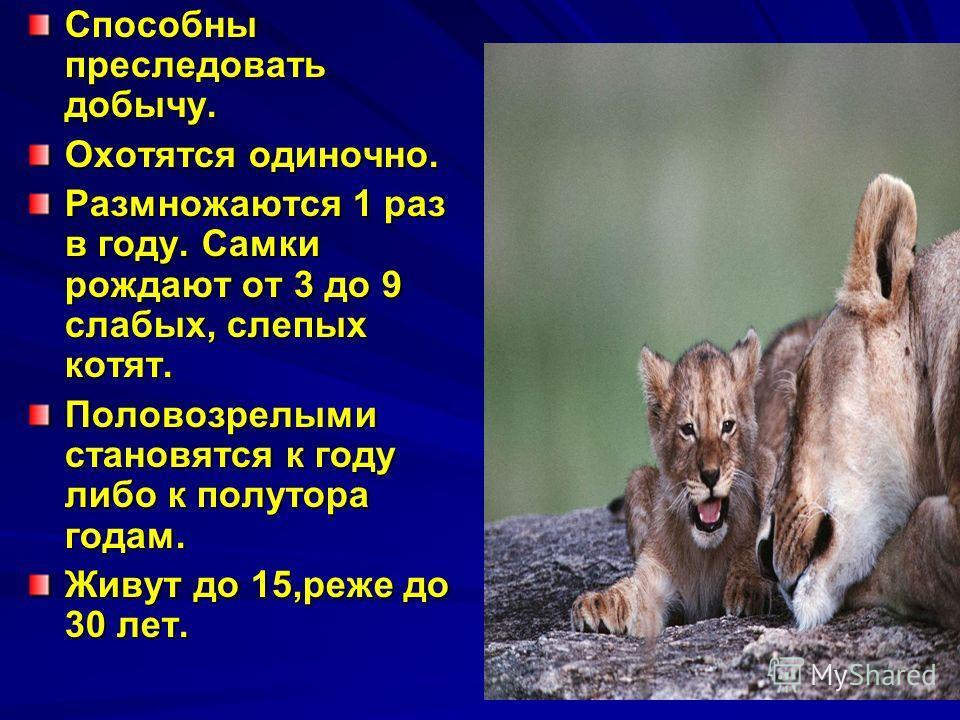 Способны преследовать добычу. Охотятся одиночно. Размножаются 1 раз в году. Самки рождают от 3 до 9 слабых, слепых котят. Половозрелыми становятся к году либо к полутора годам. Живут до 15,реже до 30 лет.