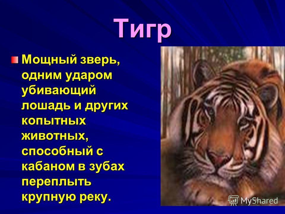 Тигр Мощный зверь, одним ударом убивающий лошадь и других копытных животных, способный с кабаном в зубах переплыть крупную реку.