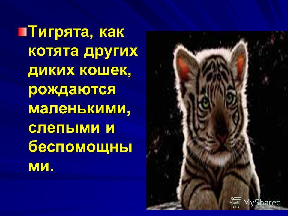 Тигрята, как котята других диких кошек, рождаются маленькими, слепыми и беспомощны ми.