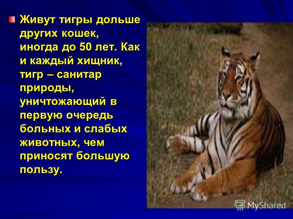 Живут тигры дольше других кошек, иногда до 50 лет. Как и каждый хищник, тигр – санитар природы, уничтожающий в первую очередь больных и слабых животных, чем приносят большую пользу.