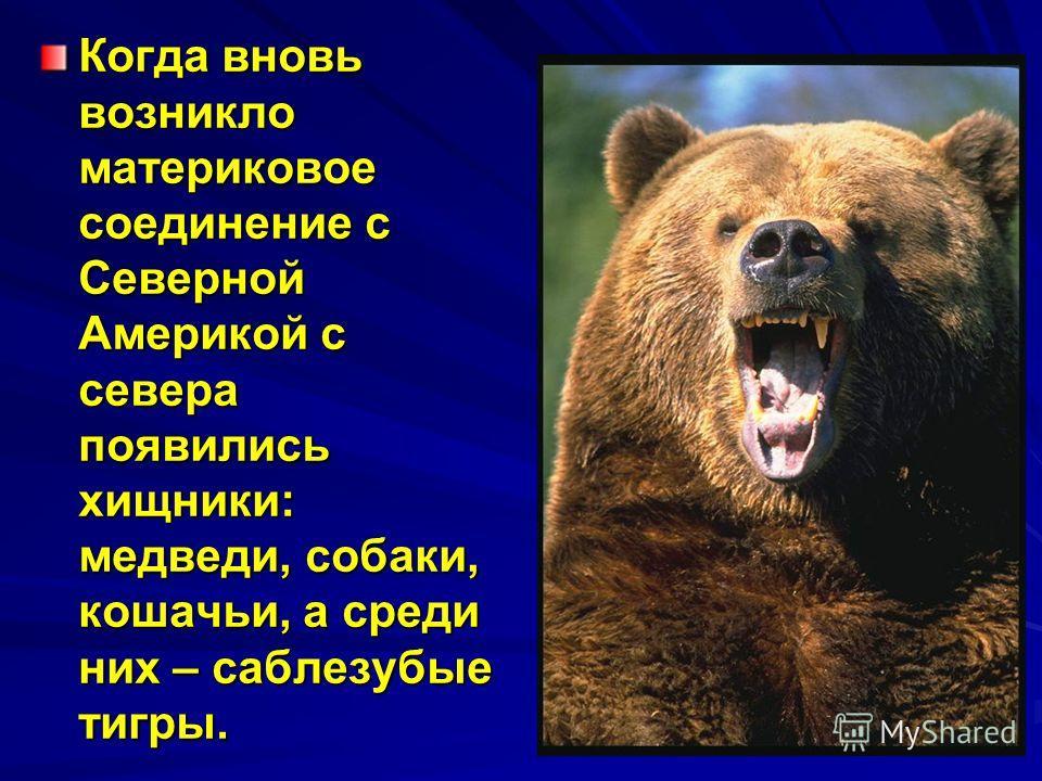 Когда вновь возникло материковое соединение с Северной Америкой с севера появились хищники: медведи, собаки, кошачьи, а среди них – саблезубые тигры.