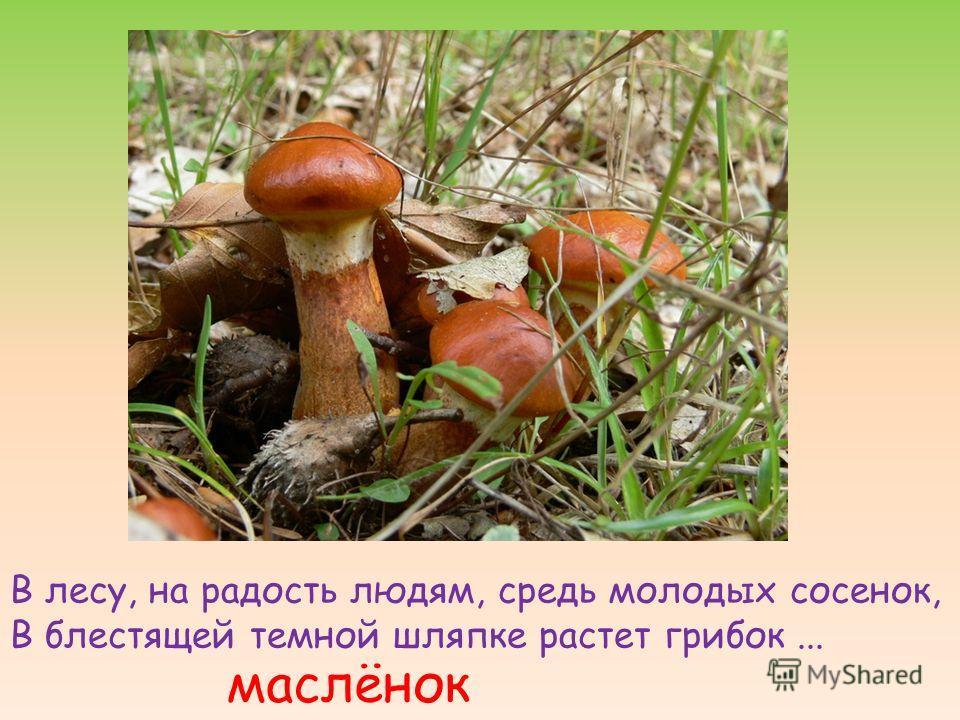 В лесу, на радость людям, средь молодых сосенок, В блестящей темной шляпке растет грибок... маслёнок