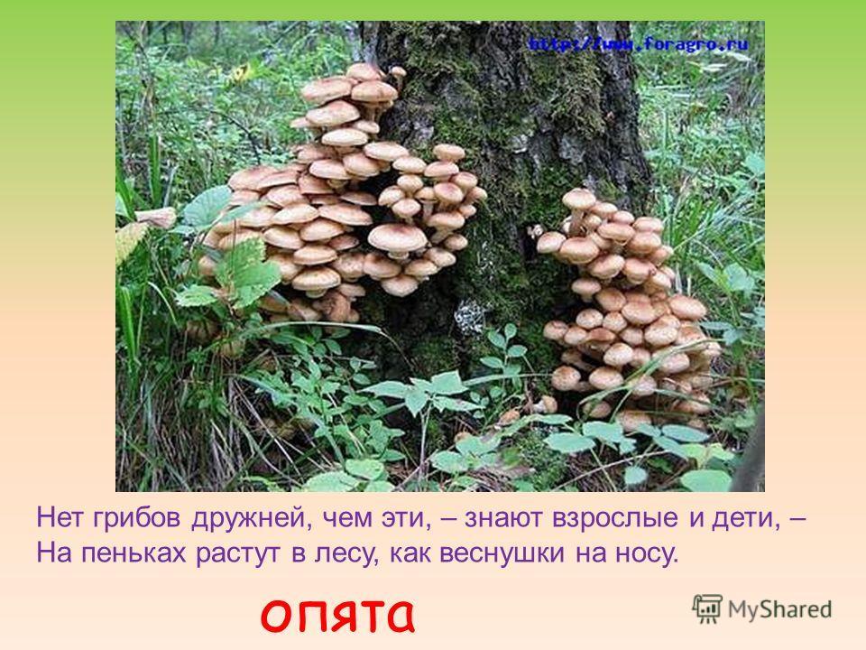 Нет грибов дружней, чем эти, – знают взрослые и дети, – На пеньках растут в лесу, как веснушки на носу. опята