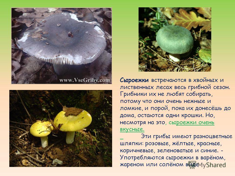 Сыроежки встречаются в хвойных и лиственных лесах весь грибной сезон. Грибники их не любят собирать, потому что они очень нежные и ломкие, и порой, пока их донесёшь до дома, остаются одни крошки. Но, несмотря на это, сыроежки очень вкусные. Эти грибы