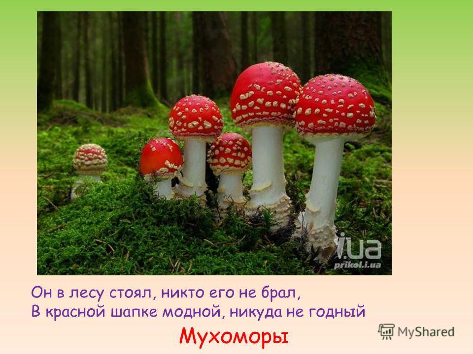 Мухоморы Он в лесу стоял, никто его не брал, В красной шапке модной, никуда не годный