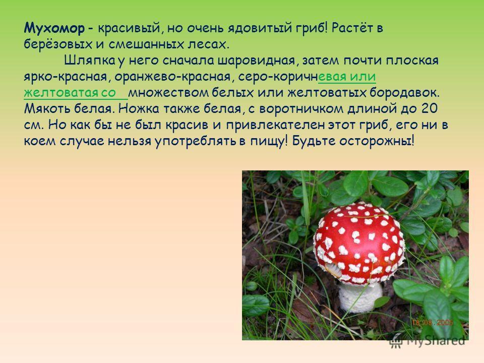 Мухомор - красивый, но очень ядовитый гриб! Растёт в берёзовых и смешанных лесах. Шляпка у него сначала шаровидная, затем почти плоская ярко-красная, оранжево-красная, серо-коричневая или желтоватая со множеством белых или желтоватых бородавок. Мякот