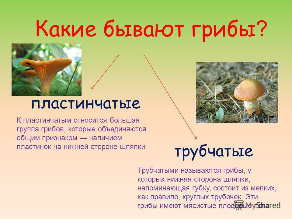 Какие бывают грибы ? пластинчатые трубчатые Трубчатыми называются грибы, у которых нижняя сторона шляпки, напоминающая губку, состоит из мелких, как правило, круглых трубочек. Эти грибы имеют мясистые плодовые тела К пластинчатым относится большая гр