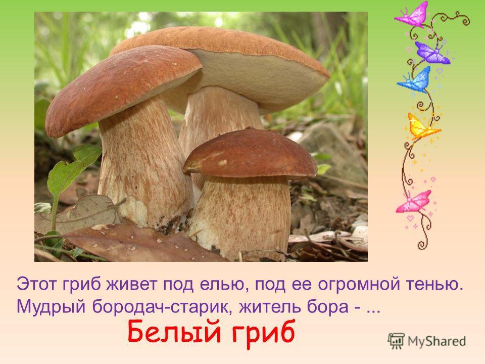 Этот гриб живет под елью, под ее огромной тенью. Мудрый бородач-старик, житель бора -... Белый гриб