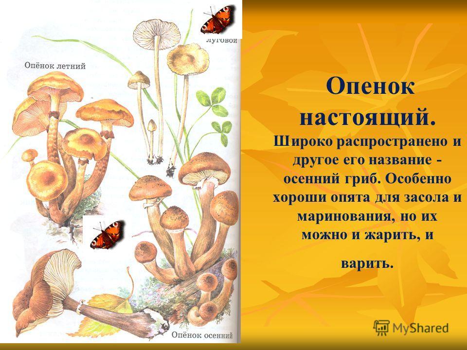 Опенок настоящий. Широко распространено и другое его название - осенний гриб. Особенно хороши опята для засола и маринования, но их можно и жарить, и варить.