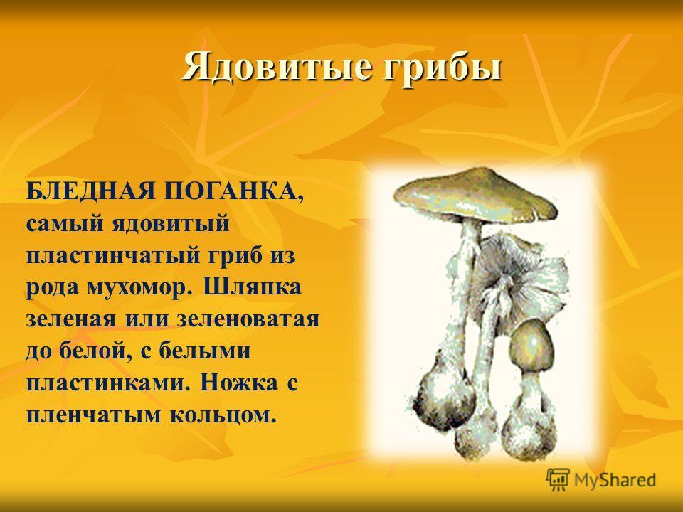 Ядовитые грибы БЛЕДНАЯ ПОГАНКА, самый ядовитый пластинчатый гриб из рода мухомор. Шляпка зеленая или зеленоватая до белой, с белыми пластинками. Ножка с пленчатым кольцом.