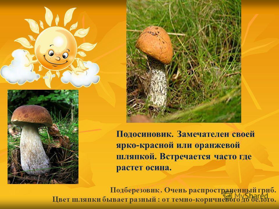 Подберезовик. Очень распространенный гриб. Цвет шляпки бывает разный : от темно-коричневого до белого. Подосиновик. Замечателен своей ярко-красной или оранжевой шляпкой. Встречается часто где растет осина.