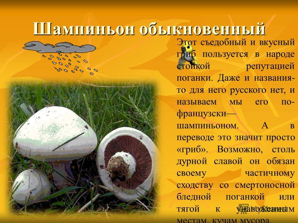 Шампиньон обыкновенный Этот съедобный и вкусный гриб пользуется в народе стойкой репутацией поганки. Даже и названия- то для него русского нет, и называем мы его по- французски шампиньоном. А в переводе это значит просто «гриб». Возможно, столь дурно