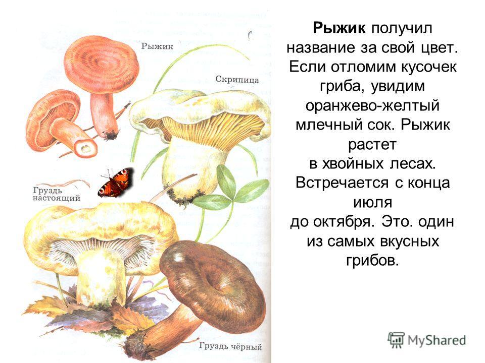 Рыжик получил название за свой цвет. Если отломим кусочек гриба, увидим оранжево-желтый млечный сок. Рыжик растет в хвойных лесах. Встречается с конца июля до октября. Это. один из самых вкусных грибов.