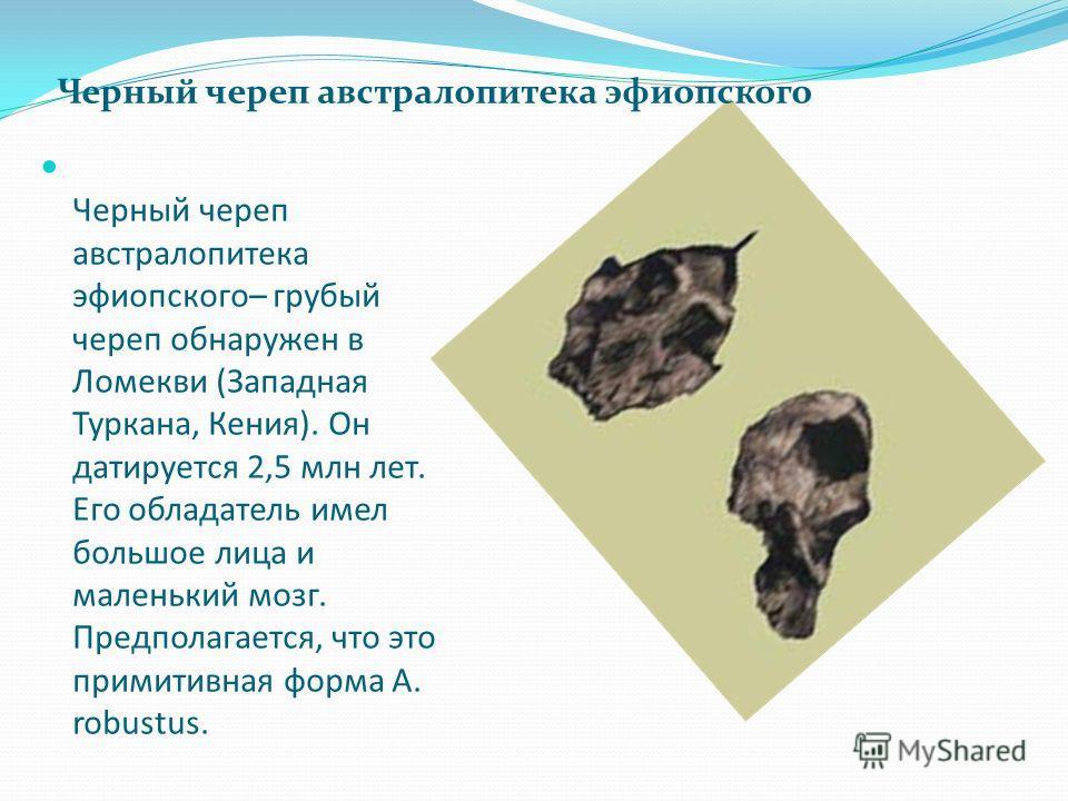 Черный череп австралопитека эфиопского– грубый череп обнаружен в Ломекви (Западная Туркана, Кения). Он датируется 2,5 млн лет. Его обладатель имел большое лица и маленький мозг. Предполагается, что это примитивная форма A. robustus. Черный череп авст