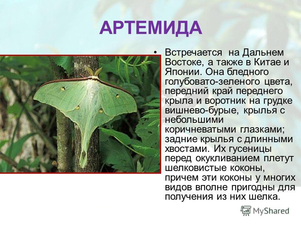 АРТЕМИДА Встречается на Дальнем Востоке, а также в Китае и Японии. Она бледного голубовато-зеленого цвета, передний край переднего крыла и воротник на грудке вишнево-бурые, крылья с небольшими коричневатыми глазками; задние крылья с длинными хвостами