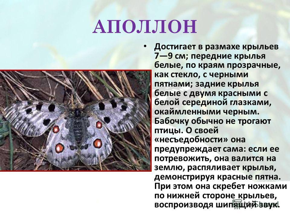 АПОЛЛОН Достигает в размахе крыльев 79 см; передние крылья белые, по краям прозрачные, как стекло, с черными пятнами; задние крылья белые с двумя красными с белой серединой глазками, окаймленными черным. Бабочку обычно не трогают птицы. О своей «несъ