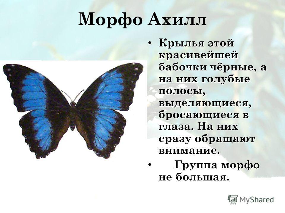 Морфо Ахилл Крылья этой красивейшей бабочки чёрные, а на них голубые полосы, выделяющиеся, бросающиеся в глаза. На них сразу обращают внимание. Крылья этой красивейшей бабочки чёрные, а на них голубые полосы, выделяющиеся, бросающиеся в глаза. На них