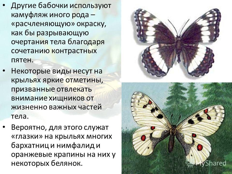 Другие бабочки используют камуфляж иного рода – «расчленяющую» окраску, как бы разрывающую очертания тела благодаря сочетанию контрастных пятен. Некоторые виды несут на крыльях яркие отметины, призванные отвлекать внимание хищников от жизненно важных