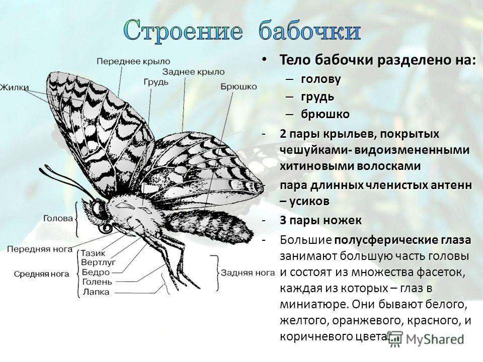 Тело бабочки разделено на: Тело бабочки разделено на: – голову – грудь – брюшко -2 пары крыльев, -2 пары крыльев, покрытых чешуйками- видоизмененными хитиновыми волосками -пара длинных членистых антенн – усиков -3 пары ножек -Большие полусферические
