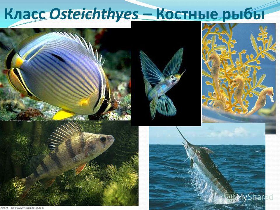 Класс Osteichthyes – Костные рыбы