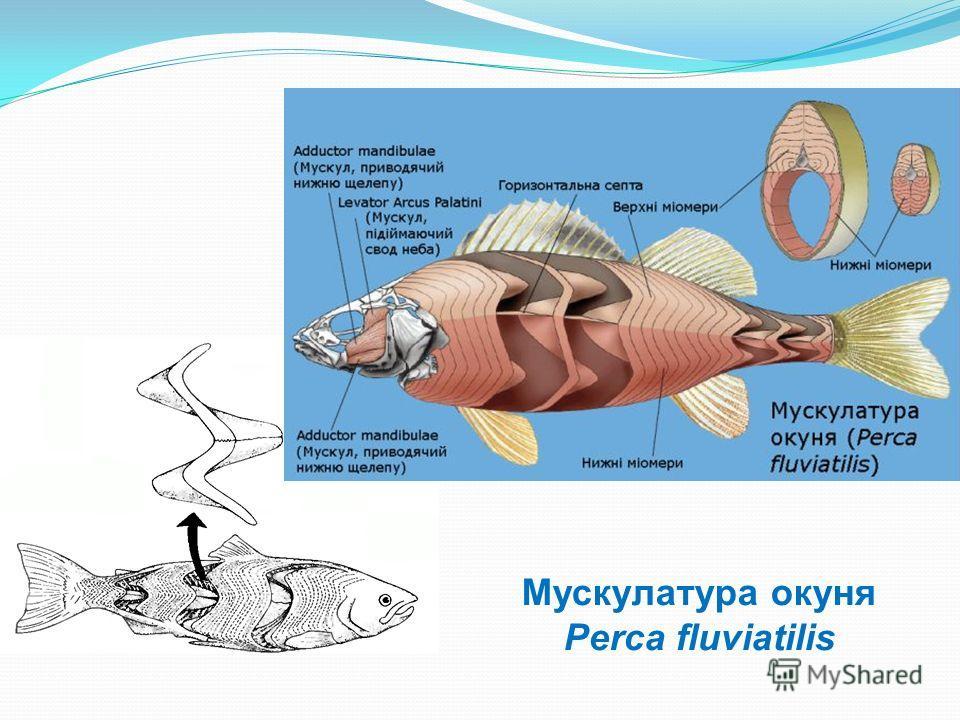 Мускулатура окуня Perca fluviatilis