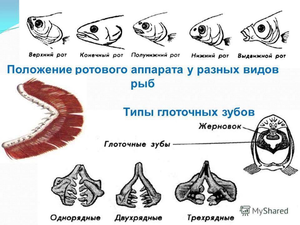 Положение ротового аппарата у разных видов рыб Типы глоточных зубов